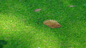The background of green marsh grass. Duckweed. Swamp algae. Green algae patterns on the water. nGreen swamp stock video footage