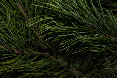 Background of green needles. Natural background of green needles Royalty Free Stock Photography