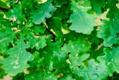 Background of green oak leaves Stock Photos