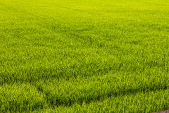 Background of green paddy fields Stock Images