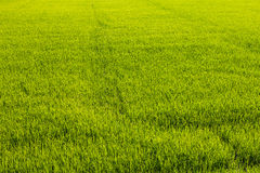 Background of green paddy fields Royalty Free Stock Photography