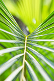 Background of green palm tree leaves Royalty Free Stock Photo