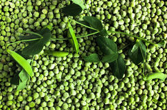 Background of green peas. frozen and fresh leaves Stock Photos