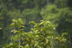 Green plants and Tropical heavy shower in rainforest Royalty Free Stock Photo