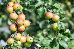 Background of green and red apples on apple tree Stock Photos