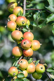 Background of green and red apples on apple tree branch Royalty Free Stock Photos