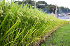 Background of green rice field in Japan Royalty Free Stock Photos