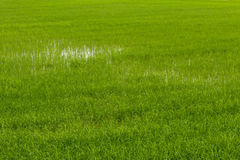 Background green rice fields. Stock Image
