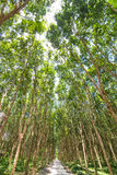 Background of green rubber tree Stock Photography