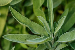 Background of green Sage leaves in the garden, aromatic herbs Stock Images