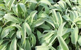Background of green Sage Royalty Free Stock Image