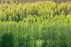 Background With Green Spring Forest royalty free stock images