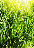 Background of a green spring grass Stock Photo