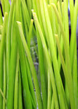 Background from green stalks Stock Photography