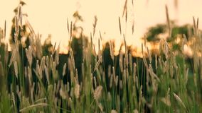 Green summer grass and sunshine. Background with green summer grass and sunshine stock video footage