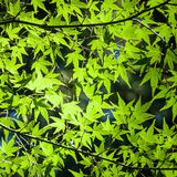 Background of Green Sunlit Japanese Maple Leaves stock image