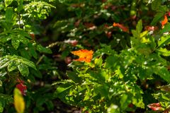 Background of green to autumn colorful leaves stock image