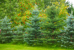 Background with green trees Royalty Free Stock Photography