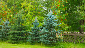Background with green trees Royalty Free Stock Image
