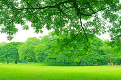 Background with green trees in park Royalty Free Stock Images