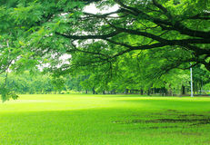Background with green trees in park Royalty Free Stock Photo