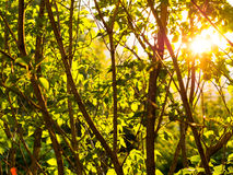 Background with green trees at sunset Stock Images