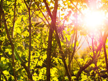 Background with green trees at sunset Royalty Free Stock Photos