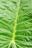 Background of green tropical leaf, natural scene Stock Image
