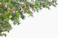 Background from green twigs yew with red ripe fruits. Royalty Free Stock Photo