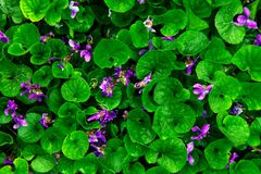 Background green viola leaves water drops rain blue purple pink flowers violet ultra hooded stock image