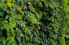 Background of green Virginia creeper Royalty Free Stock Photography