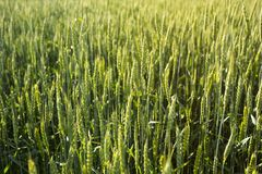 Background of a green wheat field, spikelets in the sunlight.  royalty free stock photos