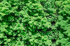 Background green wood Royalty Free Stock Photo