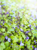Background of groundcover plant  with small blue flowers Stock Photos
