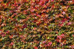 Background group autumn maple leaves. royalty free stock photography