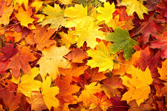 Background group autumn orange leaf. Royalty Free Stock Photos