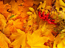 Background group autumn orange leaves. Royalty Free Stock Photo