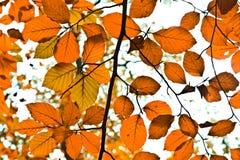 Background group autumn orange leaves. Outdoor Royalty Free Stock Photo