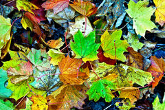 Background group autumn orange leaves. Outdoor Royalty Free Stock Photo