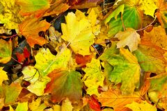 Background group autumn orange leaves. Outdoor Stock Image