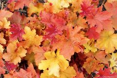 Background group autumn orange leaves Royalty Free Stock Photos