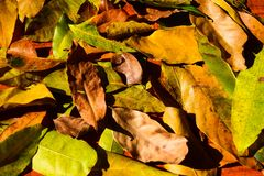 Background group autumn orange leaves. Outdoor Royalty Free Stock Images