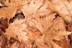Background group autumn orange leaves. Outdoor Royalty Free Stock Photography