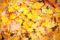 Background group autumn orange leaves. Outdoor. Royalty Free Stock Photography