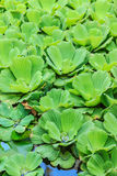 Water Lettuce Stock Photography