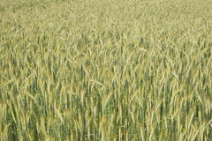 Background of growing barley on wheat farmland Royalty Free Stock Photography