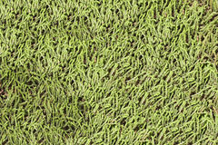 Background from growing even layer of lichen. Moss. Royalty Free Stock Images