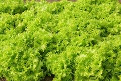 Leaf lettuce. The background of growing leaf lettuce stock photos