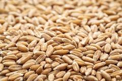 Hard red winter wheat grain background Stock Photos