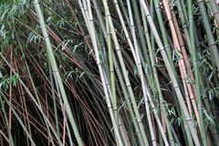 Background of healthy bamboo plants Royalty Free Stock Photos